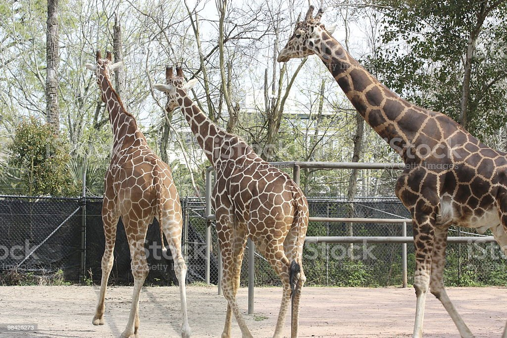 Three giraffes in a New Orleans zoo royalty-free stock photo
