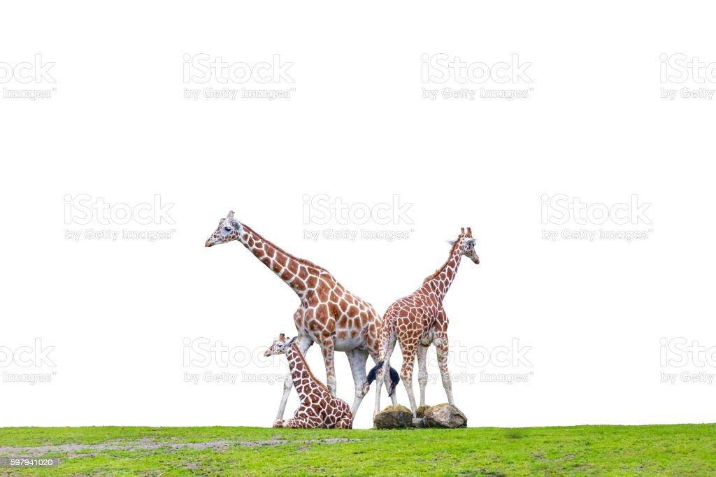 Três girafas  foto royalty-free
