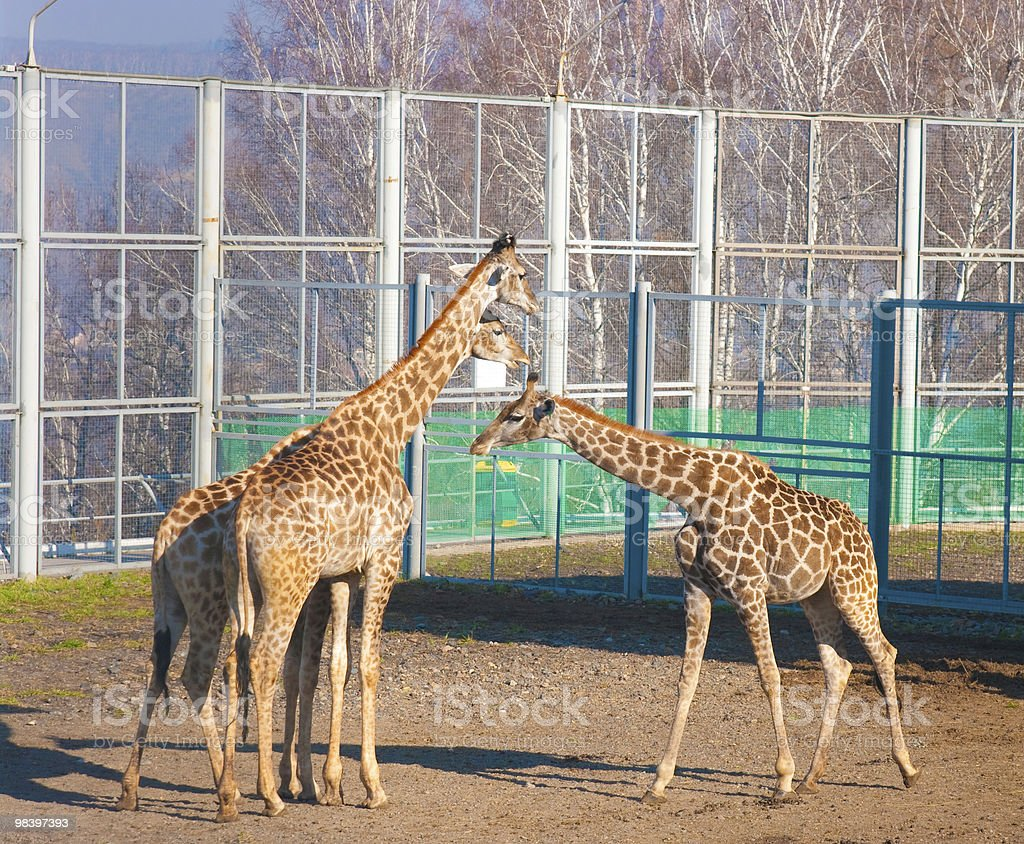 Three giraffes royalty-free stock photo