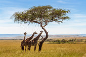 Three giraffes under acacia tree in the african savannah