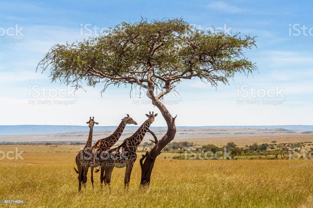 Three giraffes under acacia tree stock photo