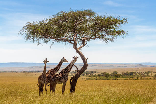 three giraffes under acacia tree - safari stock photos and pictures