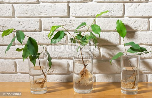 three transparent glasses with water and cuttings of ficus benjamin against a white brick wall. No-Soil gardening. Plant and interior concept.
