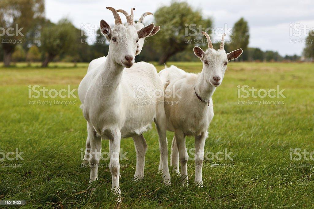 Three goats royalty-free stock photo
