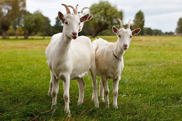 Three goats stock photo