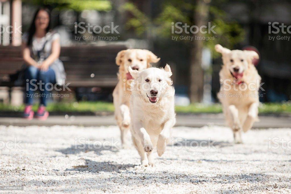 three golden retrievers running stock photo