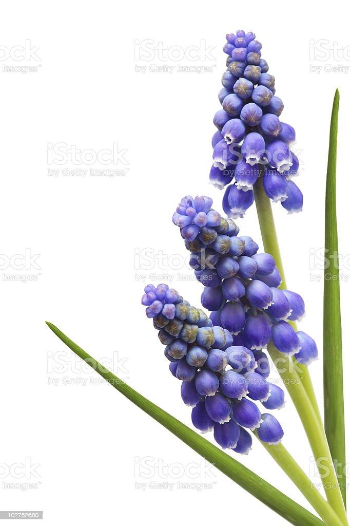 Three Grape Hyacinth Flower stock photo