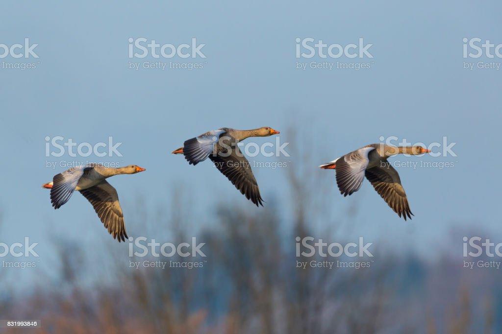 drei graue Gänse (Anser Anser) im Flug, Bäume, blauer Himmel – Foto