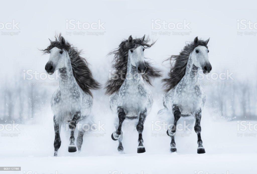 Three gray long-maned Spanish horses run gallop across snowy field. stock photo