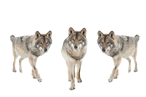 three gray wolf isolated on a white background.