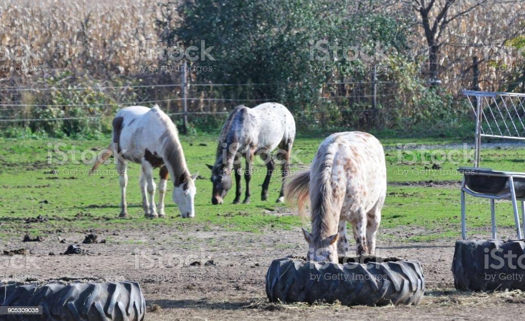 Three Grazing Horses stock photo