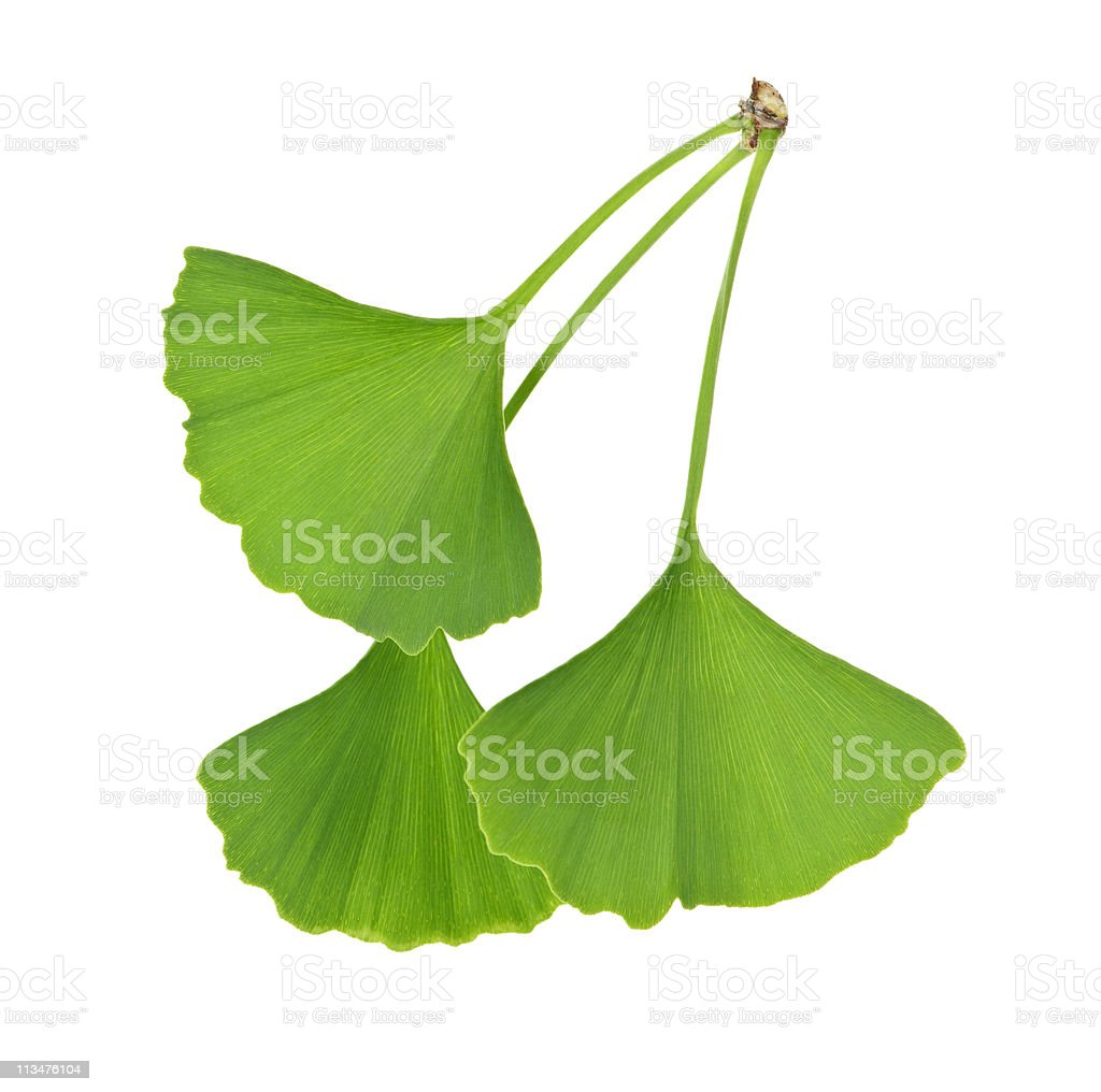 Three green Ginkgo Biloba leaves standing stock photo