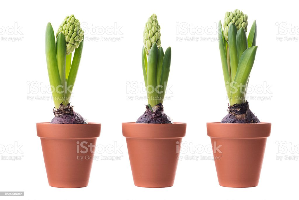 Three green hyacinths stock photo