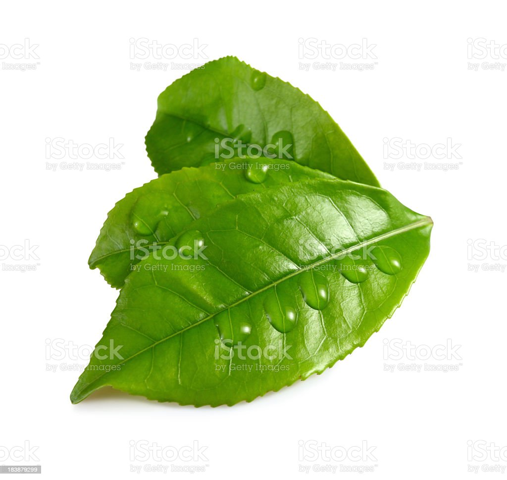Three green leaves with water droplets stock photo