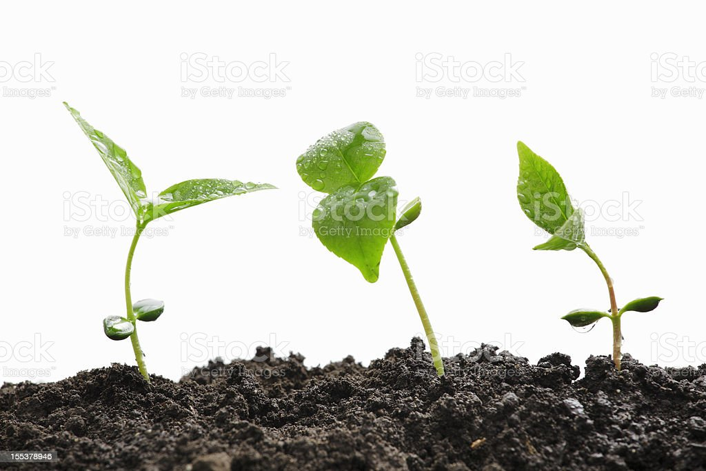 Three green plant sprouts coming out of dirt against white. royalty-free stock photo