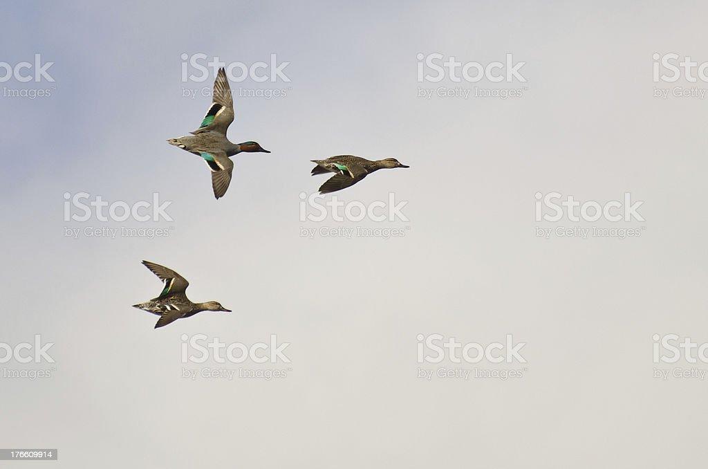 Three Green-Winged Teals Flying in a Cloudy Sky stock photo