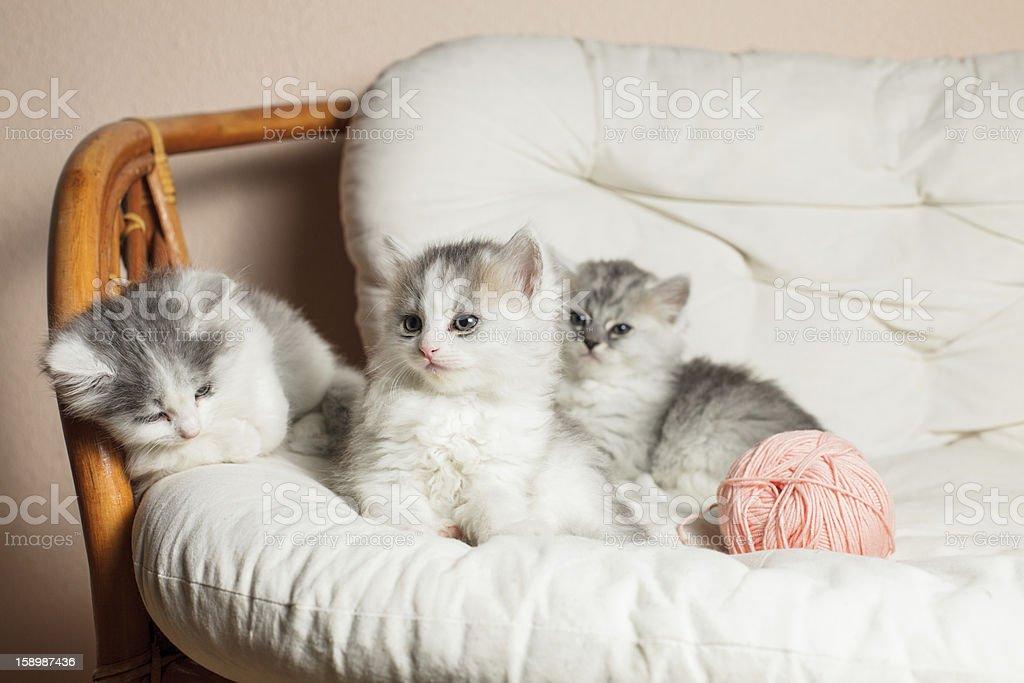 Three grey kittens royalty-free stock photo
