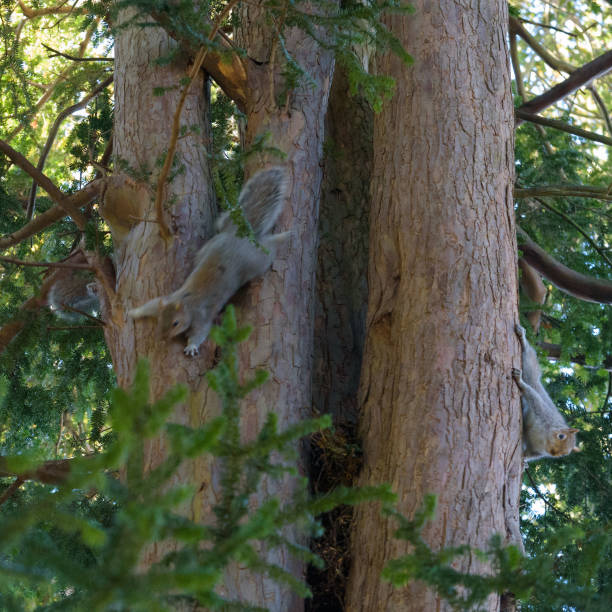 Three Grey Squirrels on a tree - hiding, moving and still stock photo