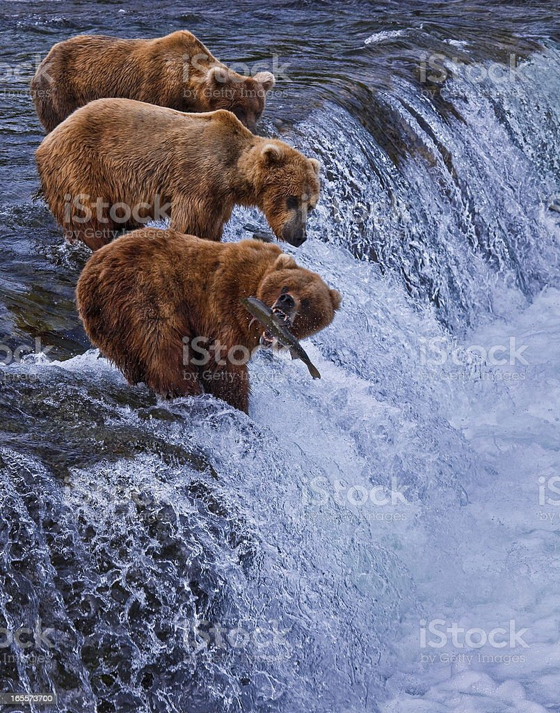 Three grizzly bears at the top of a waterfall in Alaska stock photo