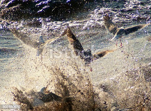 Seagulls flying out of a wave. Pacific Ocean. Northern California.