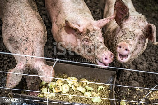 High angle view of three happy dirty pigs eating leftovers in their pen.