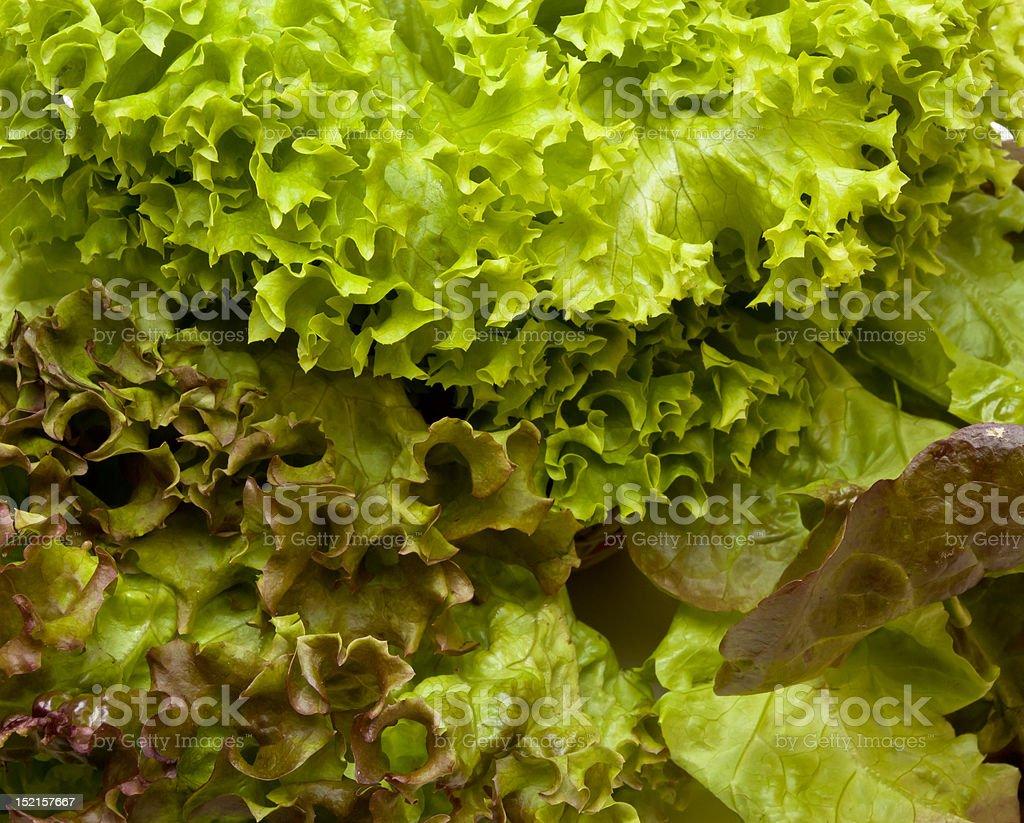 Three headed Lettuce stock photo