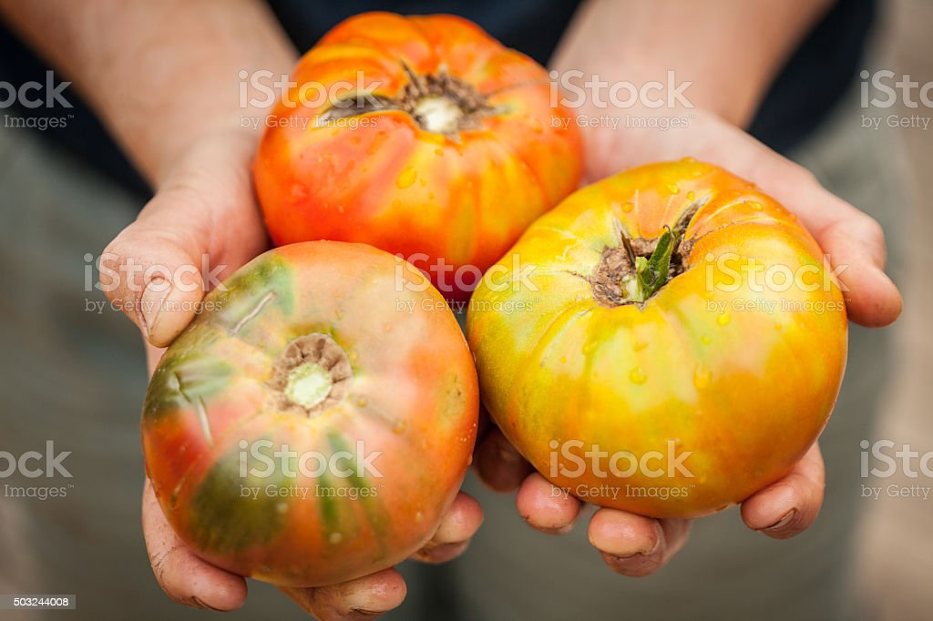 Three heirloom tomatoes in young farmer's hands stock photo