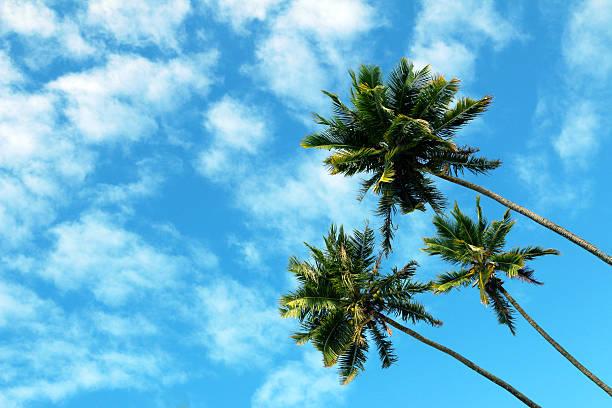 Drei hohen Palmen, blauem Himmel und weißen Wolken – Foto