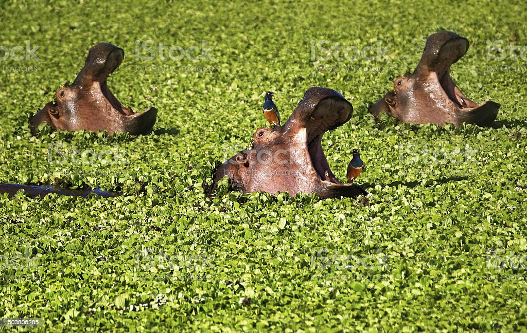 Three Hippo in Water Lettuce stock photo
