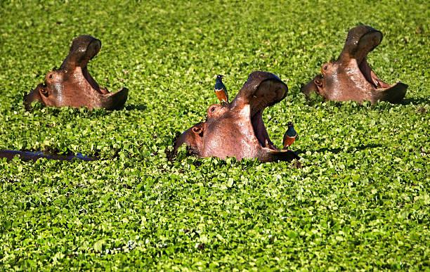 Three Hippo in Water Lettuce stock photo