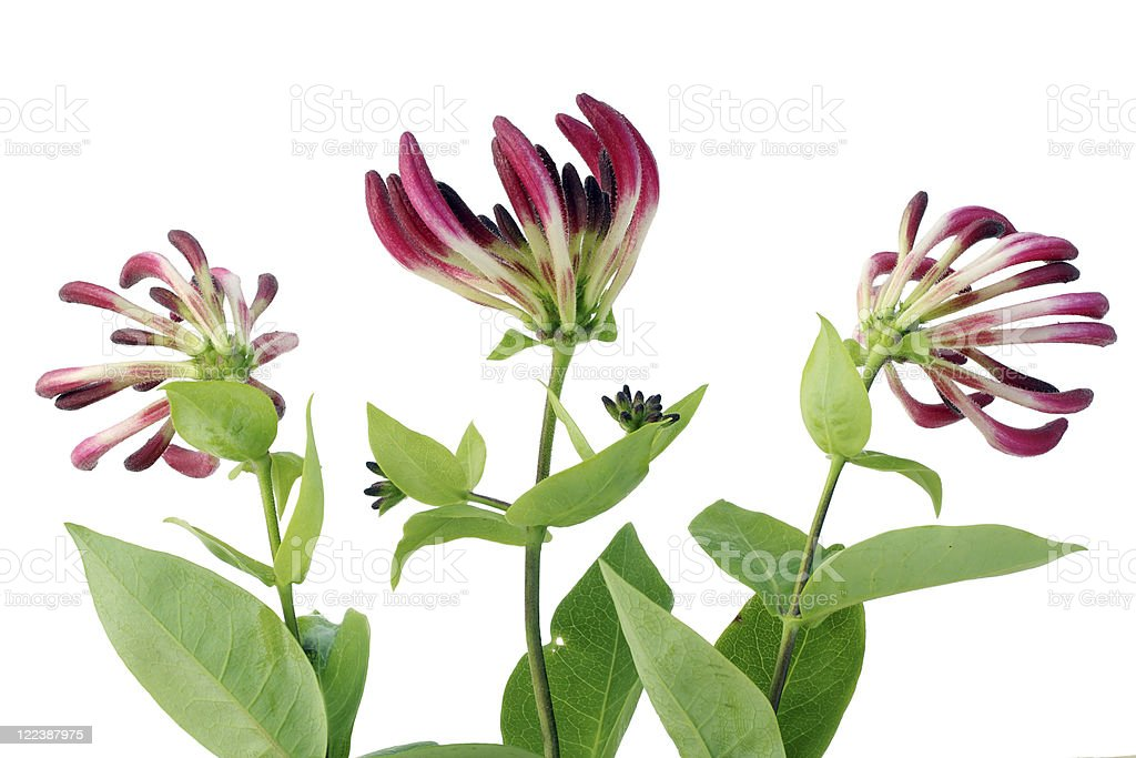 Three honeysuckle flowers on a white background stock photo