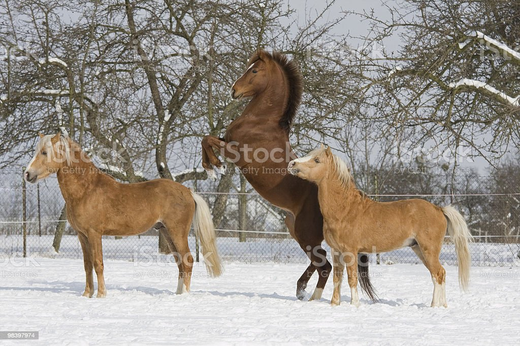 Three horses in snowy landscape royalty-free stock photo