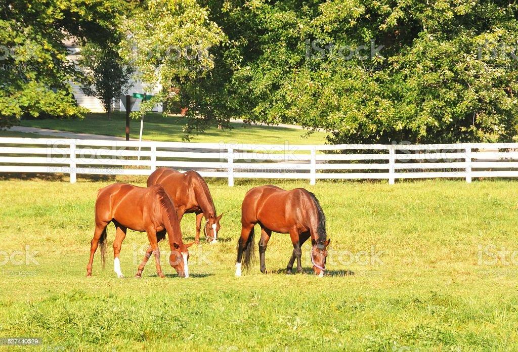 Three Horses stock photo