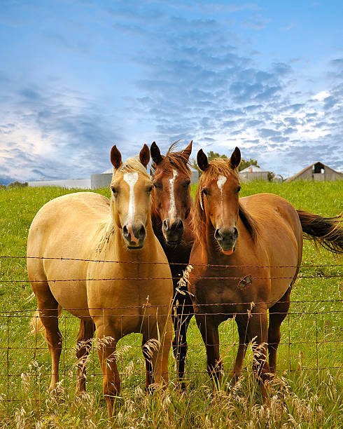 Three horses posing in pasture picture id108129731?b=1&k=6&m=108129731&s=612x612&w=0&h=ik4x5akv6xy ewxs7w6lf me n tw7uwenwg1shaxmq=
