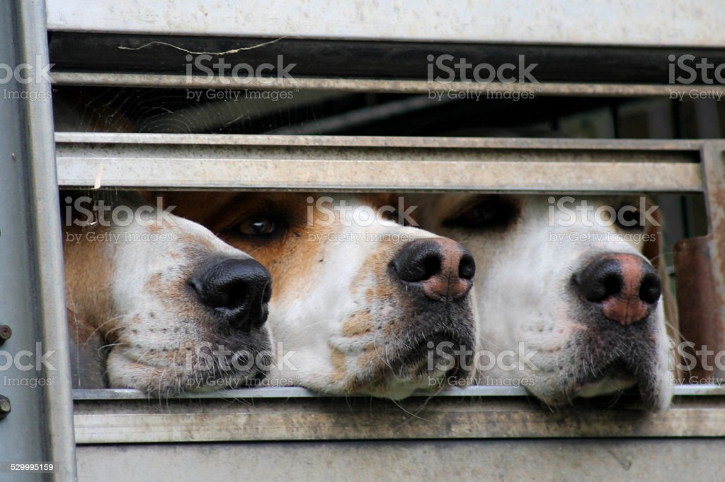Three Hounds in hound trailer - ready for trail hunting stock photo