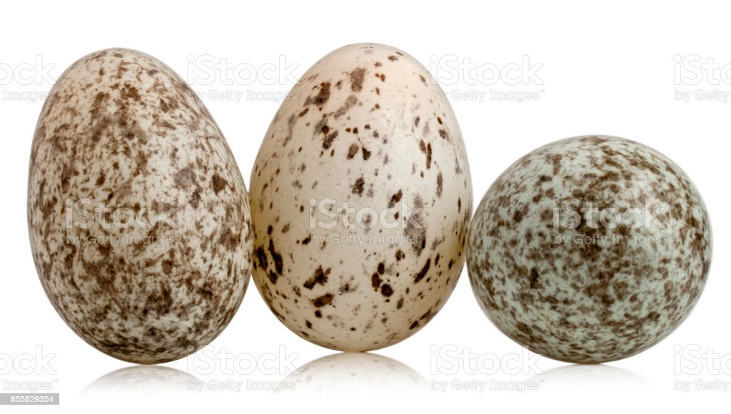 Three House Sparrow eggs, Passer domesticus, in front of white background stock photo