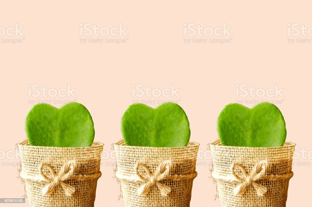 three HOYA CACTUS in sackcloth flower pot stock photo