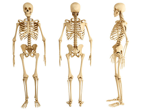 three human skeletons facing in different directions - human skeleton stock photos and pictures