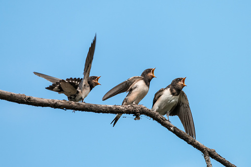 Three Hungry Swallow Chicks With Mouth Wide Open Stock ...