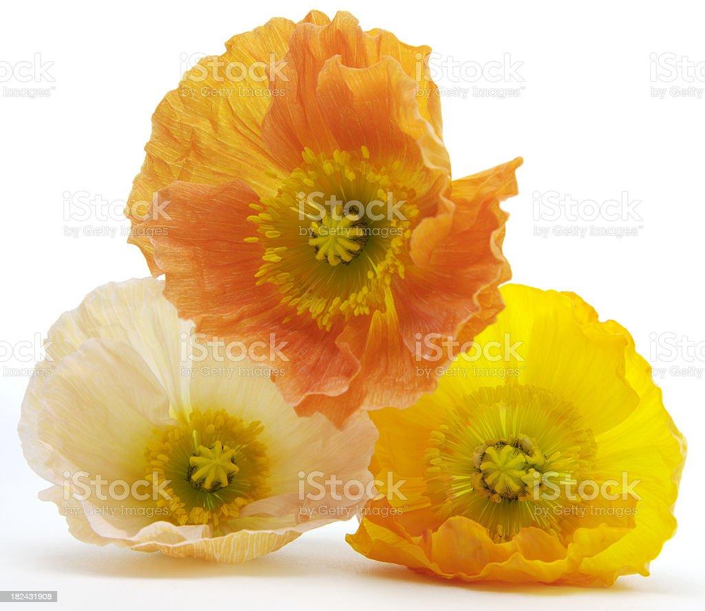 Three Iceland poppy flowers isolated on white royalty-free stock photo