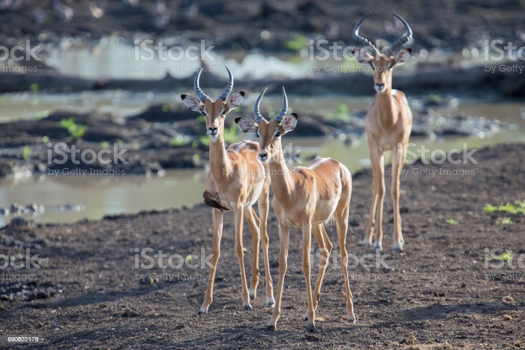 Three Impala rams walking away from a waterhole after having a drink stock photo
