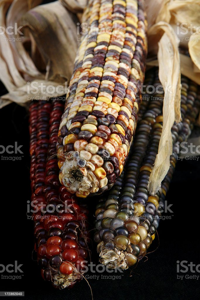 Three Indian Corn royalty-free stock photo