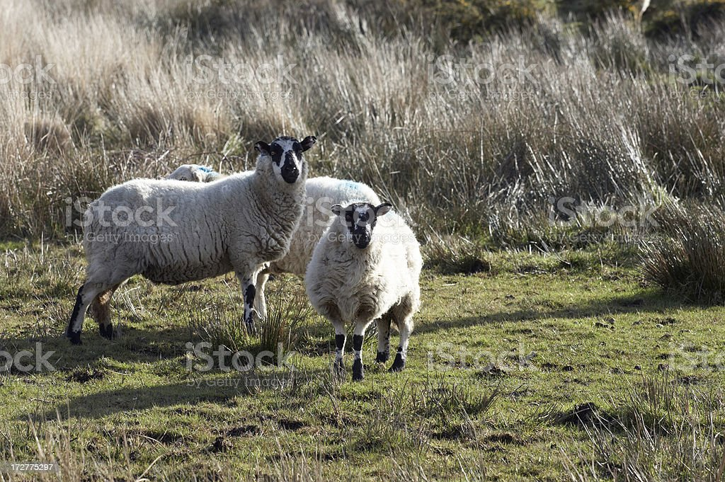 Three inqusitive sheep sunlit royalty-free stock photo