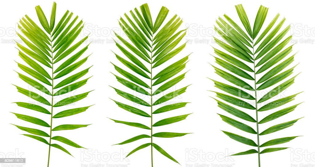Three isolated on white palm leaf with clipping path stock photo