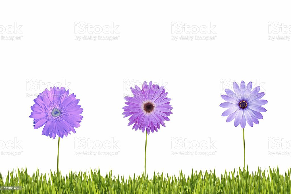 Drei einzelne Lila Gänseblümchen XXL Lizenzfreies stock-foto