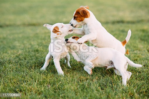 istock Three Jack Russell puppies play on the grass. 1177008347