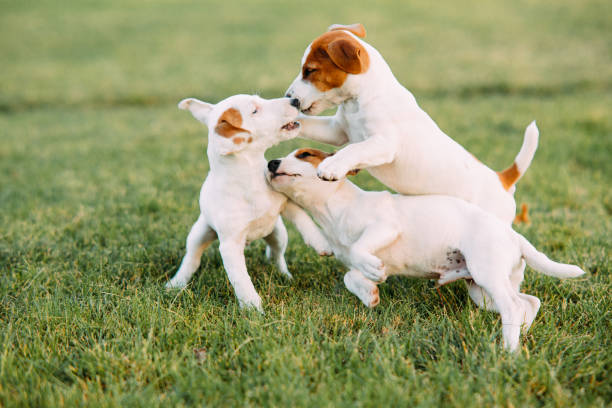 Three jack russell puppies play on the grass picture id1177008347?b=1&k=6&m=1177008347&s=612x612&w=0&h=c63j ivtli39yrzgyiugbn4tcbs8rq8l3qbrdwzpztg=