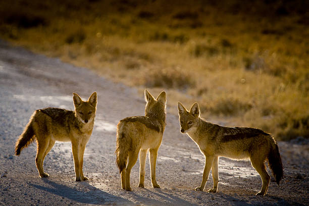 drei jackals überqueren der straße - goldschakal stock-fotos und bilder