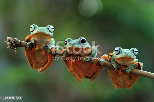 Flying frog on branch
