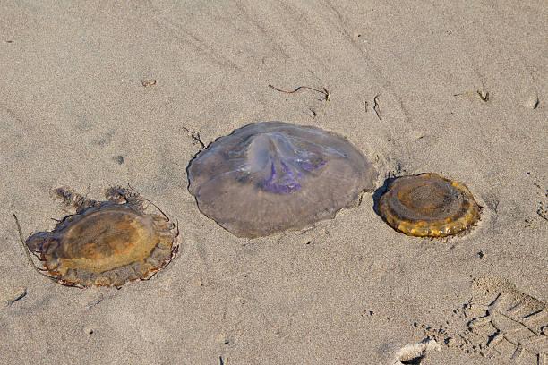 Three Jelly Fish stock photo